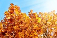 Rot und Orange färbt Efeublattnahaufnahme Lizenzfreies Stockfoto