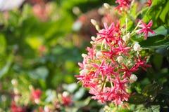 Rot und rosa von der Rangun-Kriechpflanzenblume Quisqualis Indica L I Stockbilder