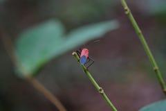 Rot und schwärzen Sie sechs mit Beinen versehenes Insekt Stockbild
