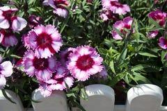 Rot-und-weiße Blumen Stockfotografie