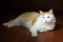 Rot-und-weiße Katze mit verschiedenen farbigen Augen Lizenzfreies Stockbild