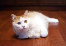 Rot-und-weiße Katze mit verschiedenen farbigen Augen Stockbild