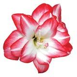 Rot- und weißeblühende Blume Stockbild
