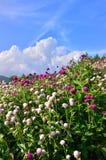 Rot und Weißkleen, die auf dem Hügel, Japan blühen Lizenzfreies Stockfoto