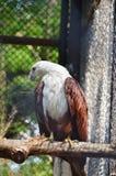 Rot-unterstützter Meeres-Eagle- oder Brahminy-Drachen Lizenzfreie Stockbilder