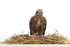 Rot-unterstütztes Meeres-Eagle im Nest Lizenzfreies Stockfoto