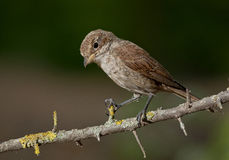 Rot-unterstütztes Shrike (Lanius collurio) Lizenzfreie Stockfotografie