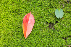 Rot verlässt auf dem grünen Moos, in Thailand Stockbild