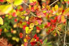 Rot verlässt auf der Niederlassung von Bush, Herbst im Wald, Lizenzfreies Stockfoto