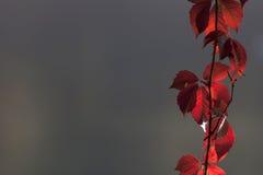 Rot verlässt auf grauem Hintergrund, Fallfarben stockfotografie