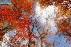 Rot verlässt vor dem hintergrund des blauen Himmels und der weißen Wolken Stockfotografie