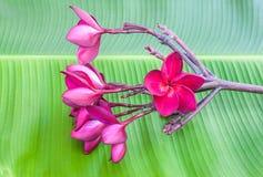 Rot-violette Plumeriablume Lizenzfreies Stockbild