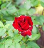 Rot von stieg, Symbol der Liebe Lizenzfreie Stockfotografie