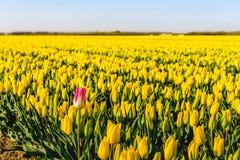Rot-weiße blühende Tulpenblüte am Rand einer großen Blume ist Lizenzfreie Stockfotografie