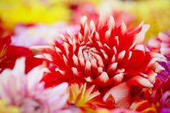Rot-weiße Dahlia Flower On Colorful Background Stockbilder