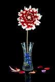 Rot-weiße Dahlie mit Vase auf Schwarzem. Stockfotografie
