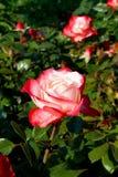 Rot-weiße Rosen stockfotos