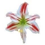 Rot-weiße Lilie. Stockfoto
