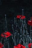 Rot, zart, Luft, belebende Mohnblume Helles Spiel Poppy Rhapsody Stockfotografie
