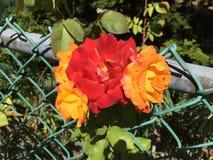 Rot zu den orange Rosen Lizenzfreies Stockbild