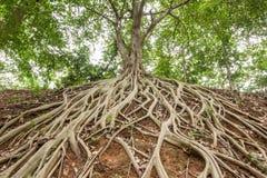 Rota av banyanträd royaltyfri bild