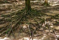 Rota av ett stort träd som fladdrar på jordningen den ovanliga växten rotar Natur arkivfoton