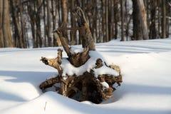 Rota av fallen tree Arkivbilder