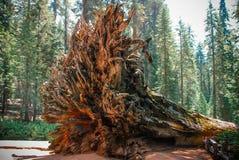 Rota av stupat träd för jätte- sequoia - de största träden jordar en kontakt på a royaltyfria bilder