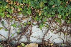 Rota av växten på väggen Fotografering för Bildbyråer