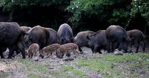 Rota för vilda svin, för sugga och för spädgrisar arkivfilmer