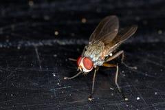 Rota larvflugan Royaltyfri Bild