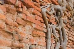Rota på den gamla tegelstenväggen Royaltyfri Foto