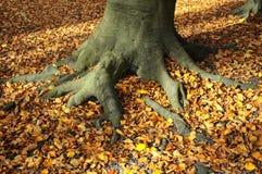 rota trä Arkivbilder