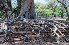 Rota trädet på den antika tegelstenväggen textur royaltyfri fotografi