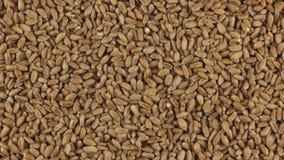 Rotación lenta del montón de los granos del trigo almacen de video