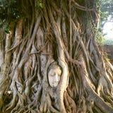 Rotad Buddha av Ayutthaya Fotografering för Bildbyråer