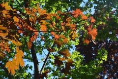 Rotahorn-Acer-Rubrum verlässt im Frühjahr auf dem Hintergrund des grünen Ahorns Stockbild
