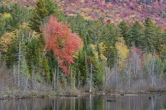 Rotahorn-Baum auf einem Adirondack Mountainsee Lizenzfreie Stockbilder