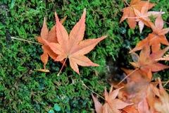 Rotahorn-Blätter in Momijidani-Park Lizenzfreie Stockfotos
