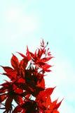 Rotahorn, der in einen blauen Himmel klettert Stockbilder