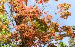 Rotahorn hand-förmiger Lat Acer-palmatum dekorativ während des ganzen Zeitraums der Vegetationskronenform und des empfindlichen M lizenzfreie stockbilder