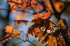 Rotahorn im Garten Lizenzfreie Stockfotos