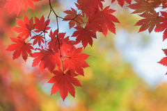 Rotahorn im Herbst in Korea [Weichzeichnung, Hintergrund] lizenzfreie stockbilder