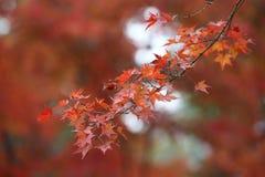 Rotahorn mit dem Japan-Hintergrund Lizenzfreie Stockfotos