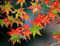 Rotahorn mit dem Japan-Hintergrund Stockfotos