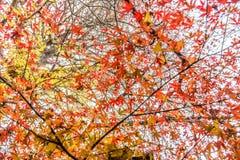 Rotahorn und gelbes Ginkgo biloba verlässt auf Bäumen Lizenzfreie Stockfotos