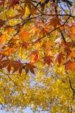 Rotahorn verlässt in Autumn Color mit gelben Ahornblättern im Hintergrund Stockfoto