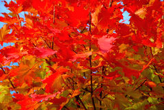 Rotahornbaum im Herbst Stockbild