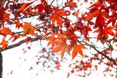 Rotahornbaum, Tokyo, Japan Lizenzfreies Stockfoto