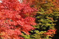 Rotahornblätter während des Laubs im Herbst Stockbild